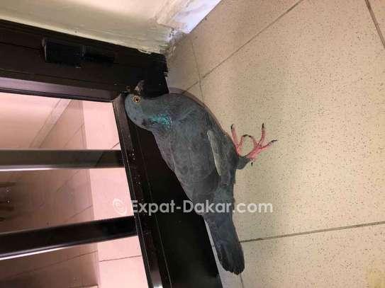 4 pigeons voyageurs image 4