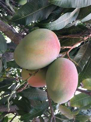 Vente de toutes variétés de mangues image 2