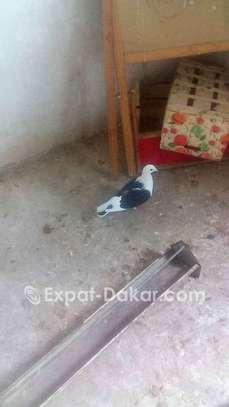 Pigeon mâe beauté rouge ;manteau bleu barré; toys image 5