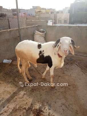 Mouton à vendre image 1
