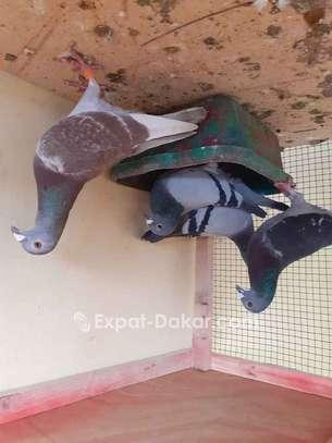 Pigeon voyageur image 1