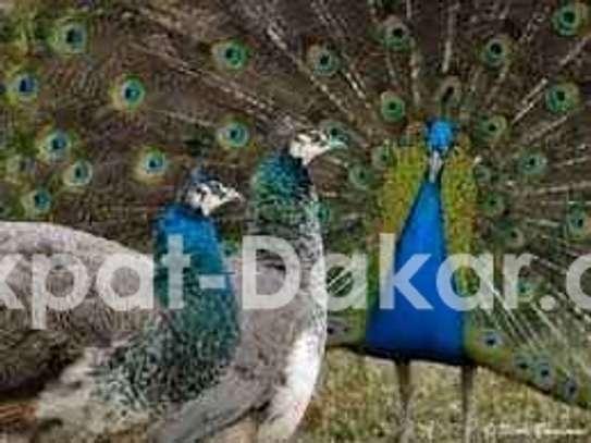 Paon bleu image 1