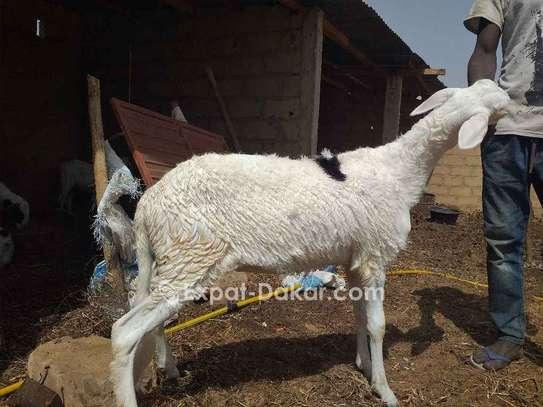 3 moutons ladoum dont une femelle avec porté image 5