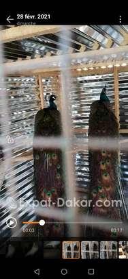 Vente de paons bleus image 1