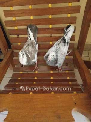 Pigeon de Race image 2