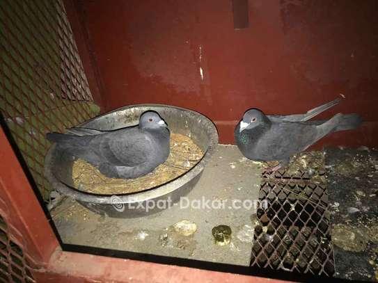 Pigeon voyageur athlète image 5