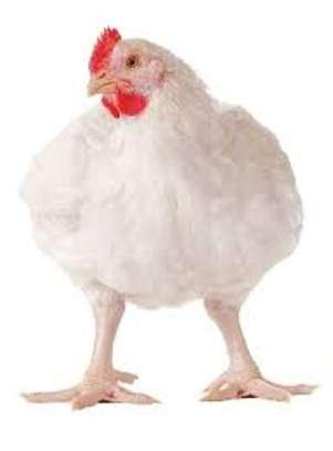Fournisseur de poulets de chair en gros et en détail image 1