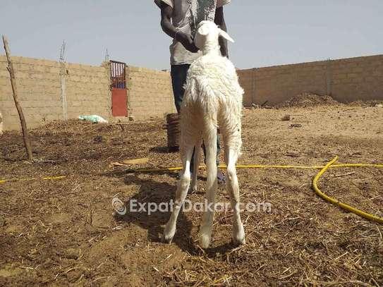 3 moutons ladoum dont une femelle avec porté image 4