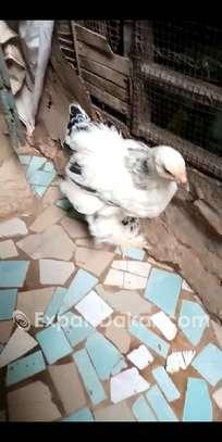 Ventes de poussin braman herminé , blanc image 6