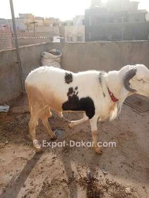 Mouton à vendre image 2