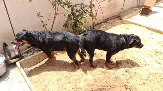 Rottweiler image 4