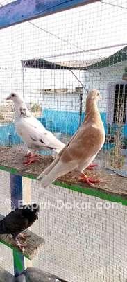 Éleveur pigeon voyageur image 1