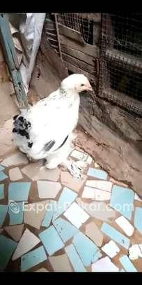 Ventes de poussin braman herminé , blanc image 3