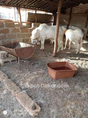 Mouton race tchadien image 3