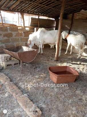 Mouton race tchadien image 1