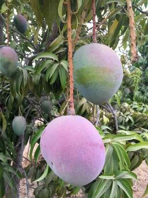 Vente de toutes variétés de mangues image 3