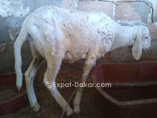Vente de mouton image 1