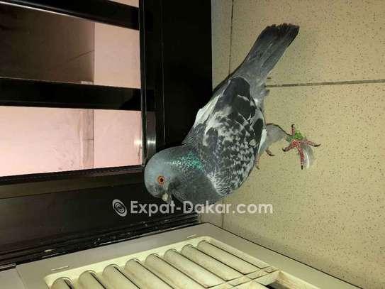 4 pigeons voyageurs image 1