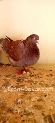 Éleveur pigeon image 1