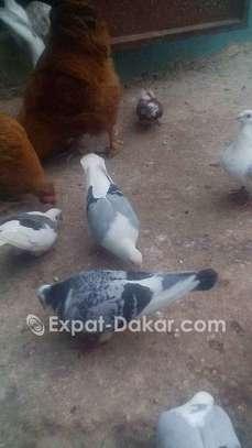 Pigeon mâe beauté rouge ;manteau bleu barré; toys image 3