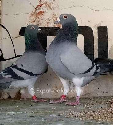 Eleveur pigeon image 1