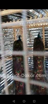 Vente de paons bleus image 2