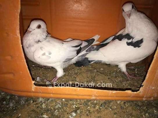 Pigeon voyageur athlète image 3
