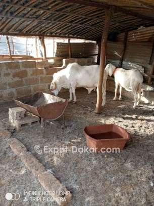 Mouton race tchadien image 2