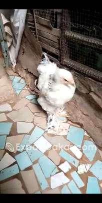 Ventes de poussin braman herminé , blanc image 5