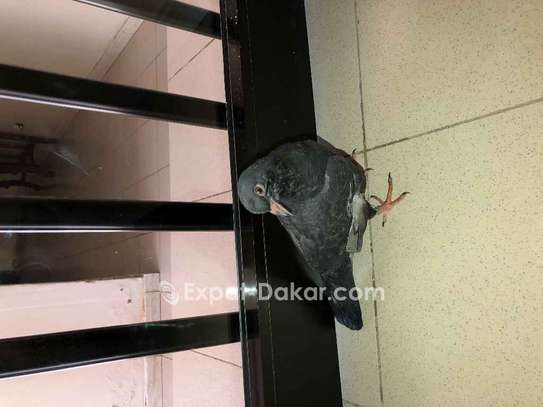 4 pigeons voyageurs image 2