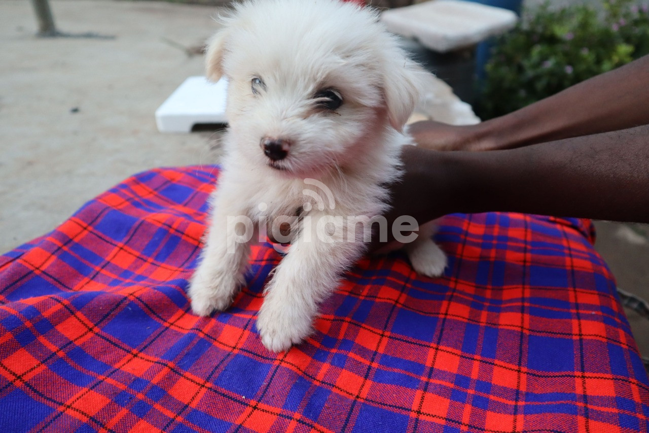 PUPPIES FOR SALE in Nairobi   PigiaMe