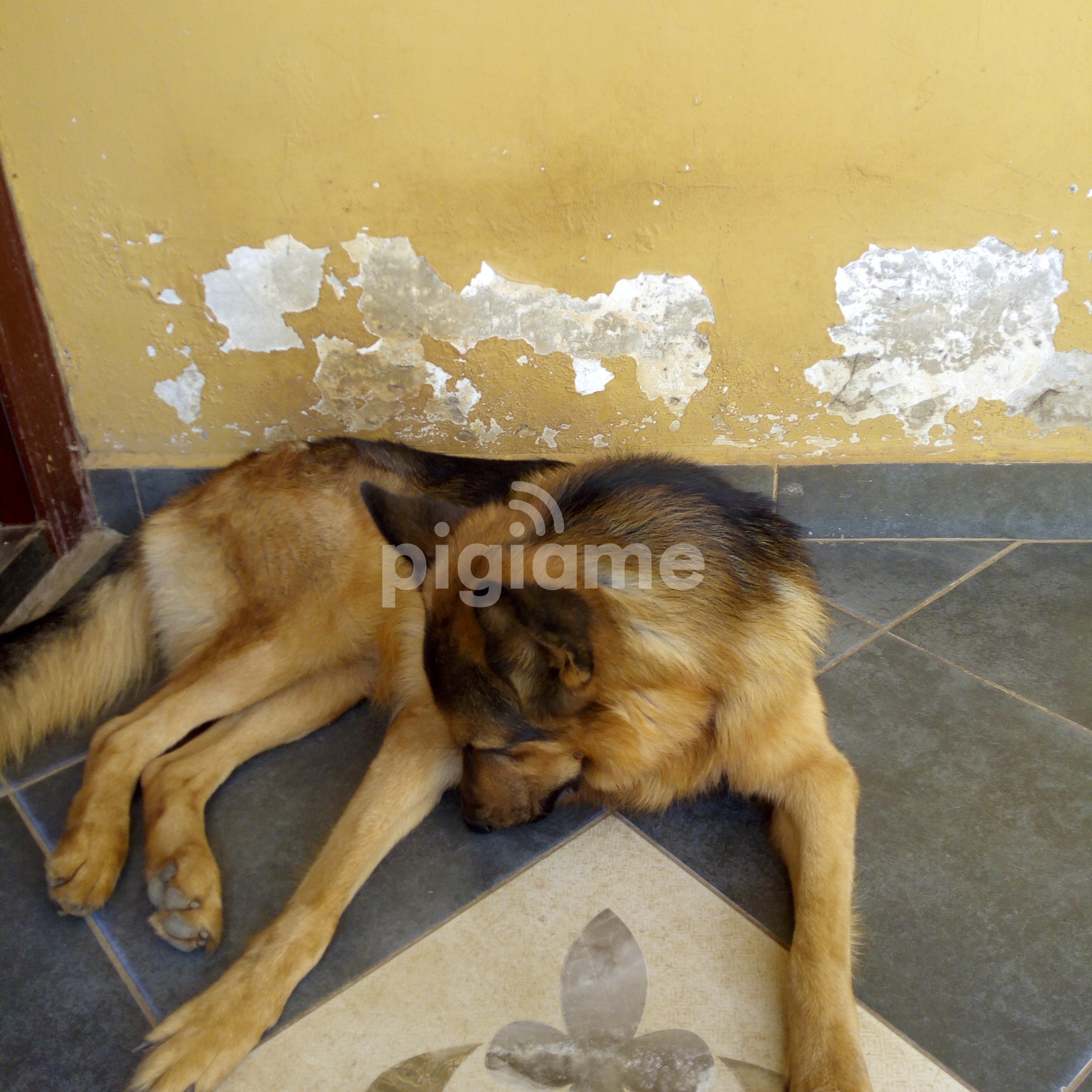 Dog For sale in Nairobi | PigiaMe