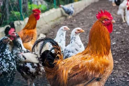 khaladymusyo poultry image 1