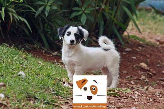 Adorable Jack Russel / Beagle Mix Puppies available image 3