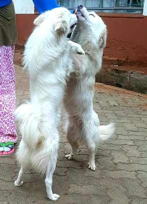 Japanese Spitz puppy image 3