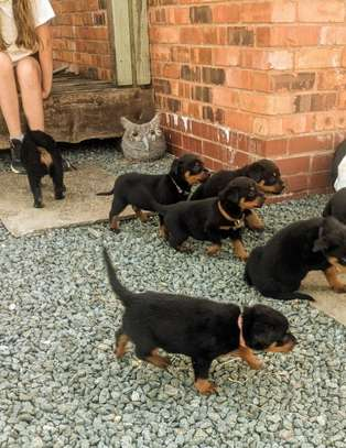 Beautiful Rottweilers Puppies image 1