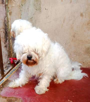 Male maltese on sale