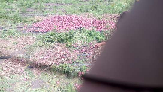 I got a full acre of ready red onions red pinoy