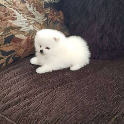 Two Awesome T-Cup Pomeranian Puppies image 1