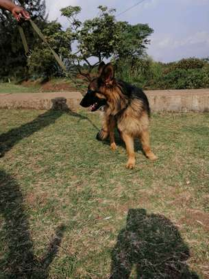 Gsd longcoat ready for a new home
