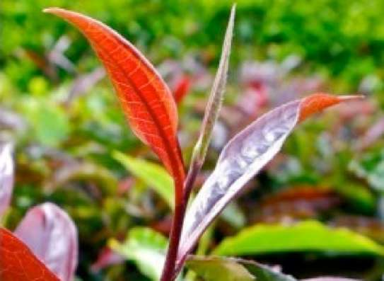 PURPLE TEA: Kenyans'Secret Weapon Against Viral Infections... and everything else! image 6