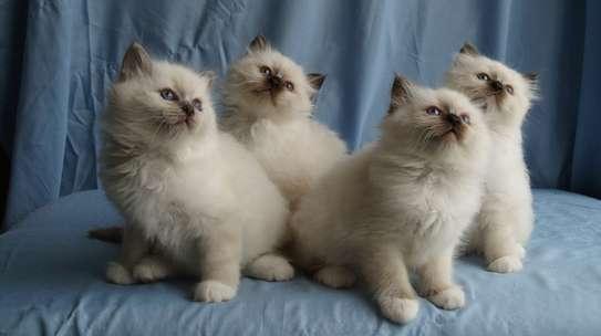 Birman Kittens image 1