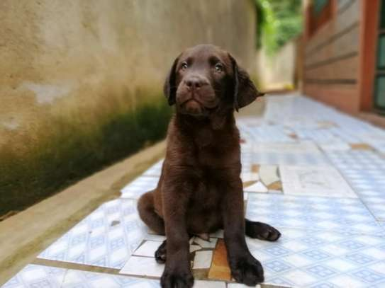 Pedigree Female Chocolate Labrador Puppy image 10