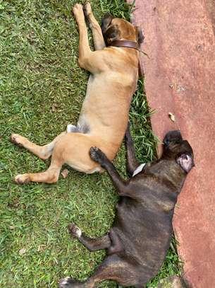 Boerboel Puppies image 4