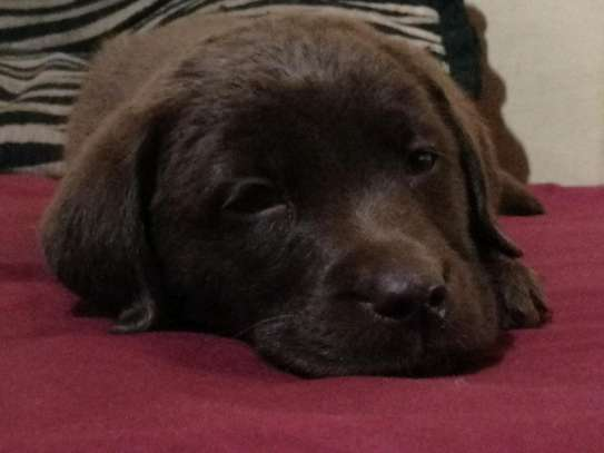 Pedigree Female Chocolate Labrador Puppy image 7