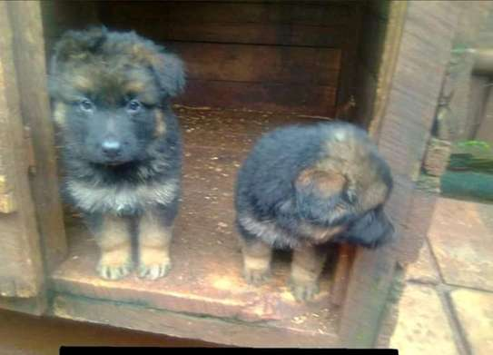 Gsd longcoat puppies available