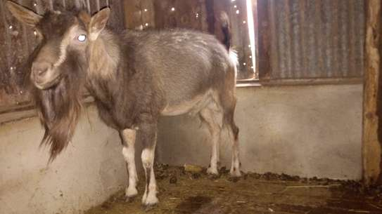 Toggenburg Male Goat For Sale