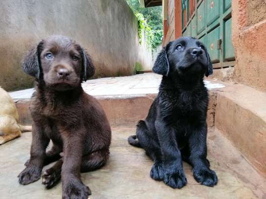 Pedigree Female Chocolate Labrador Puppy image 5