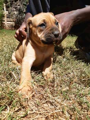 Boer boel puppies available image 3