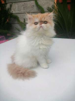 Young female persian cat image 3
